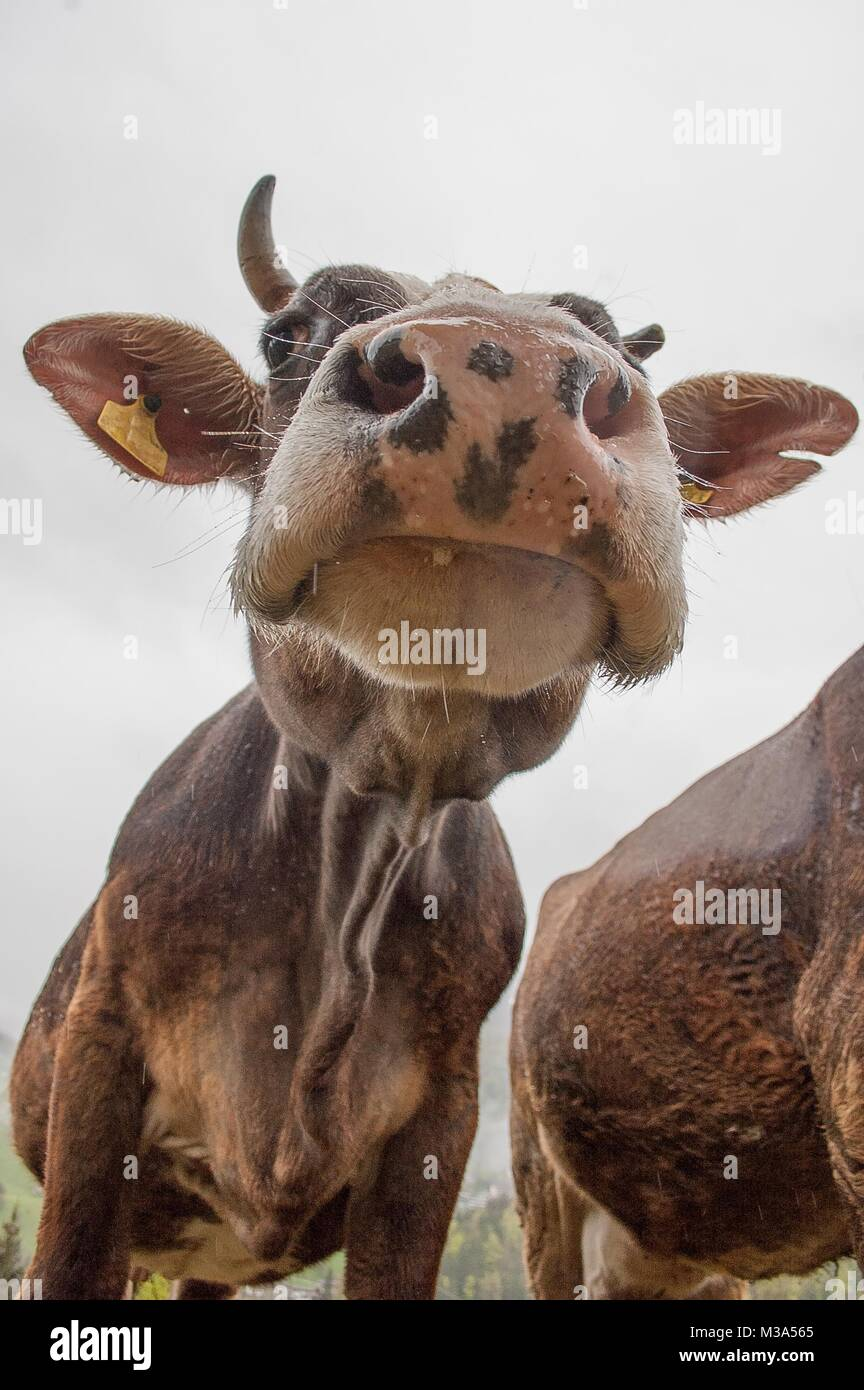 Cows grazing in freedom Stock Photo