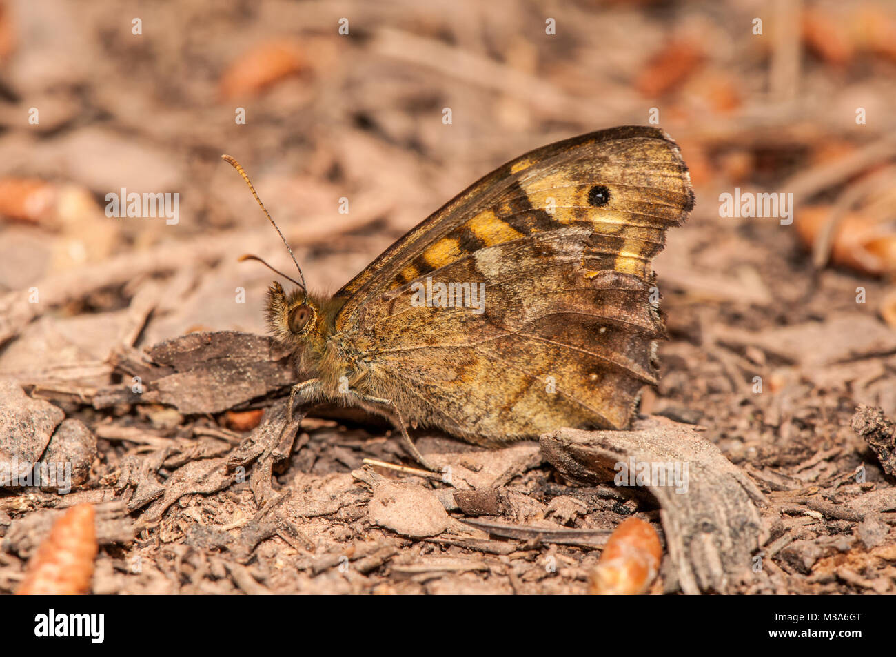 speckled wood, Pararge aegeria, on the ground - Stock Image