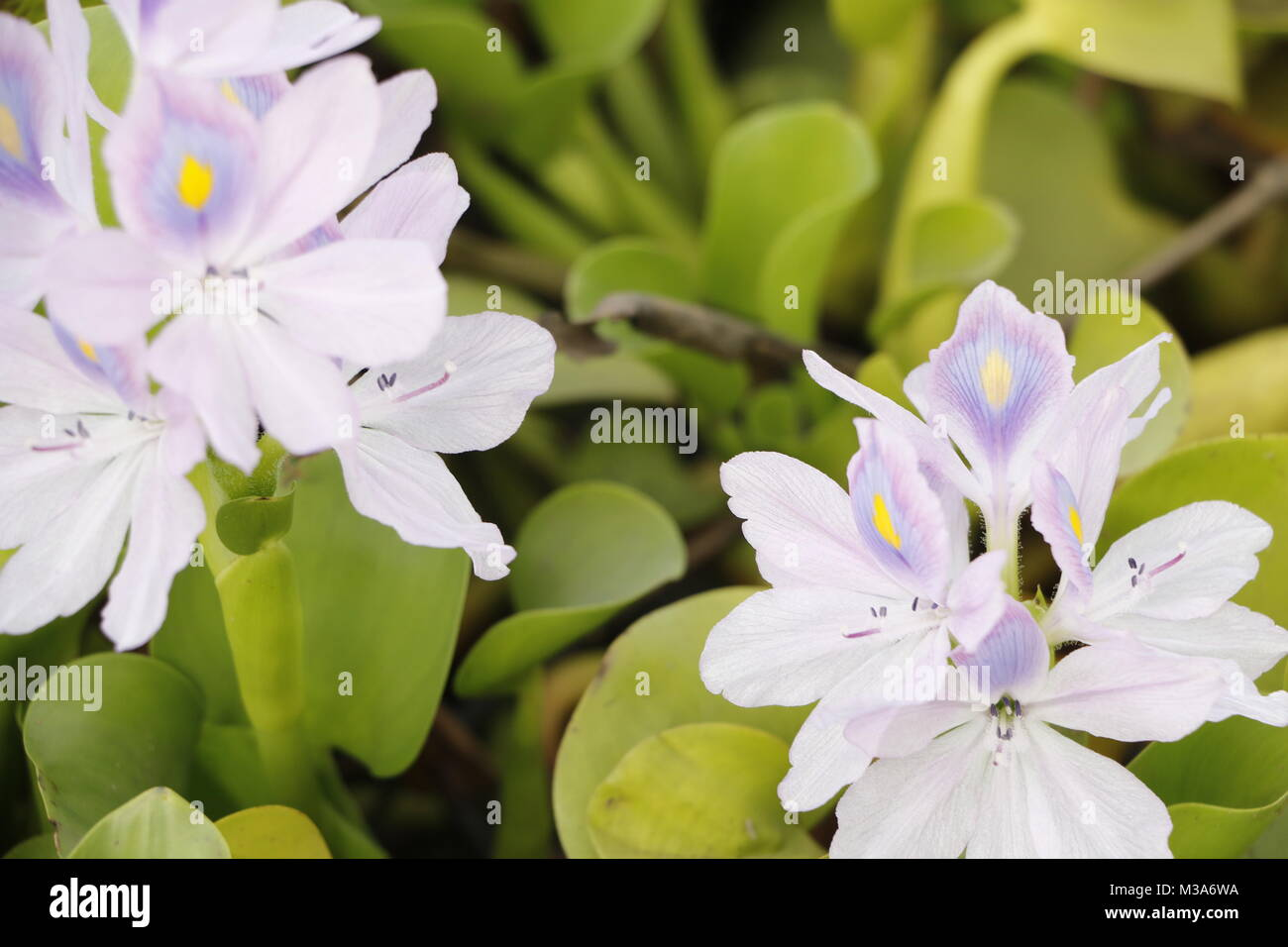 Water hyacinth a purple blue floating flower - Stock Image