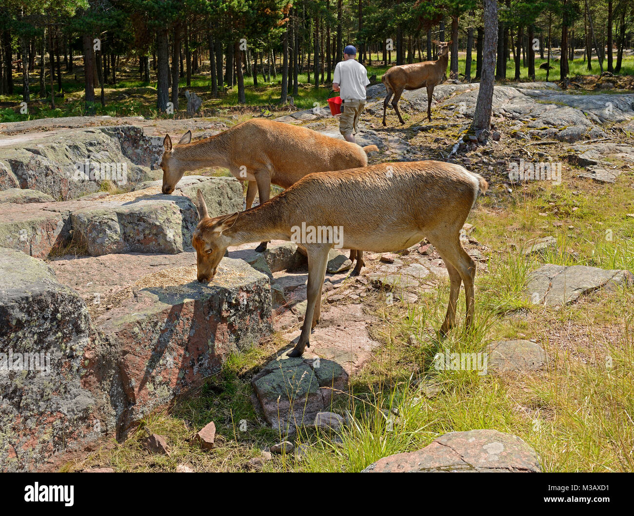 Red deer (Cervus elaphus)  eat grain, which man feeds them in forest - Stock Image