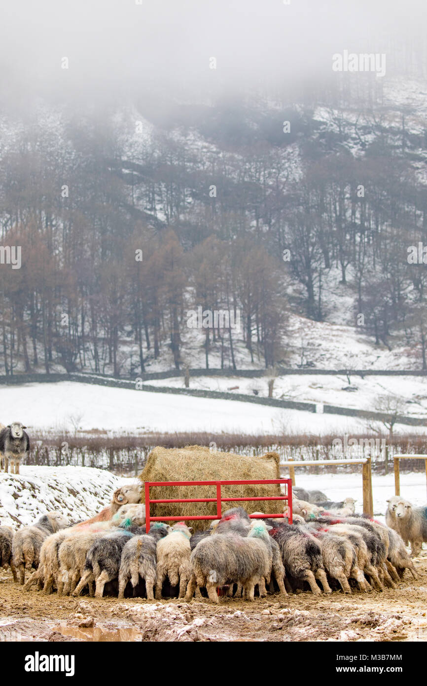 A herd of hardy Herdwick Sheep grazing on winter silage during a cold snowy winter spell of weather near to the - Stock Image