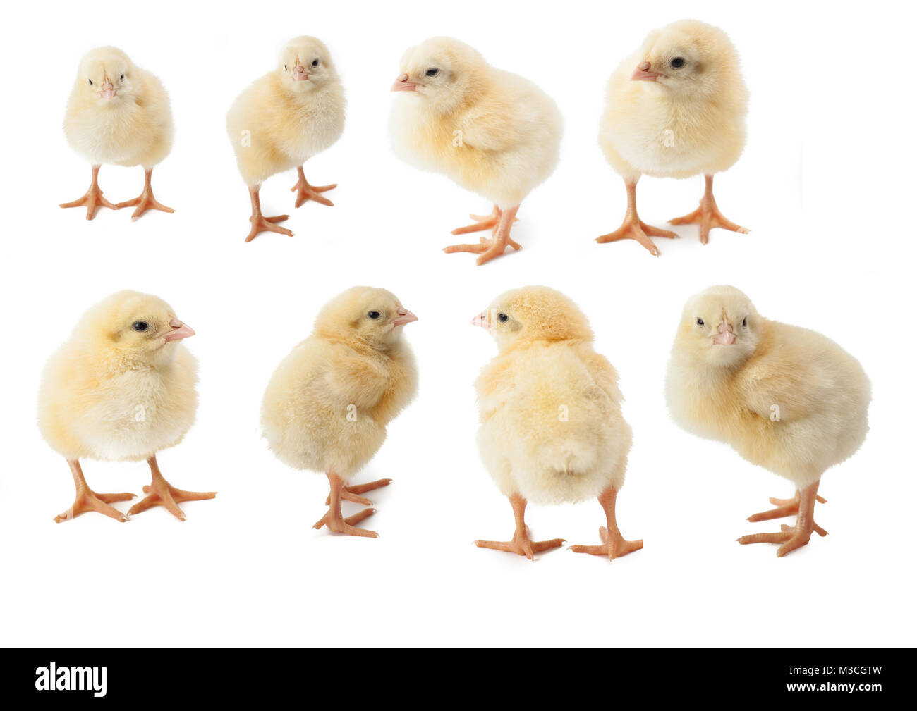 small fluffy yellow Easter Chickens on a white background - Stock Image