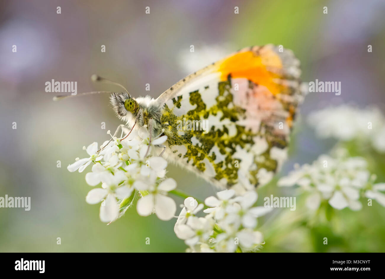 Orange Tip butterfly on Cow Parsley flowers - Anthocharis cardamines - Stock Image
