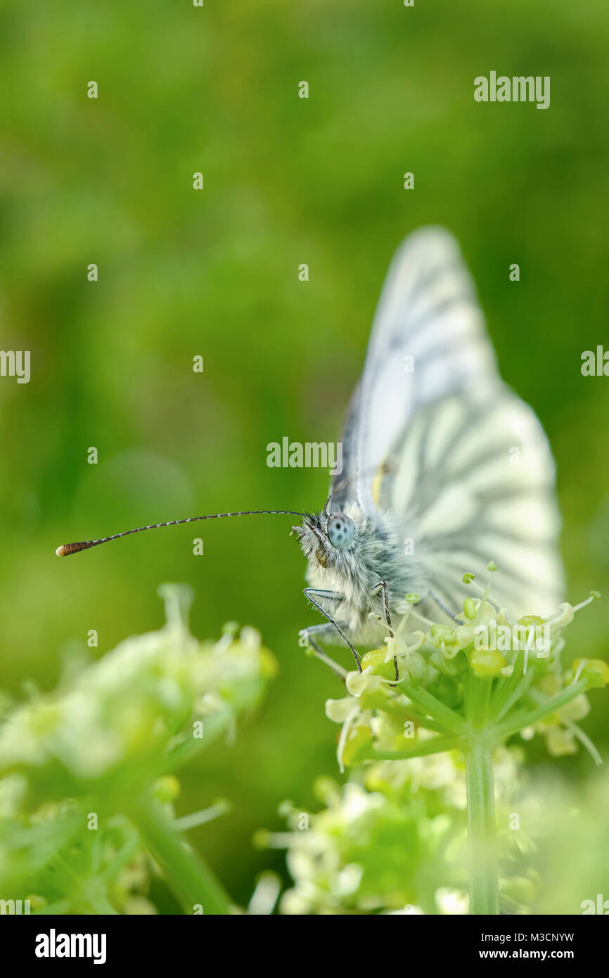 Green-veined White Butterfly resting on Alexanders flowers - Pieris napi - Stock Image
