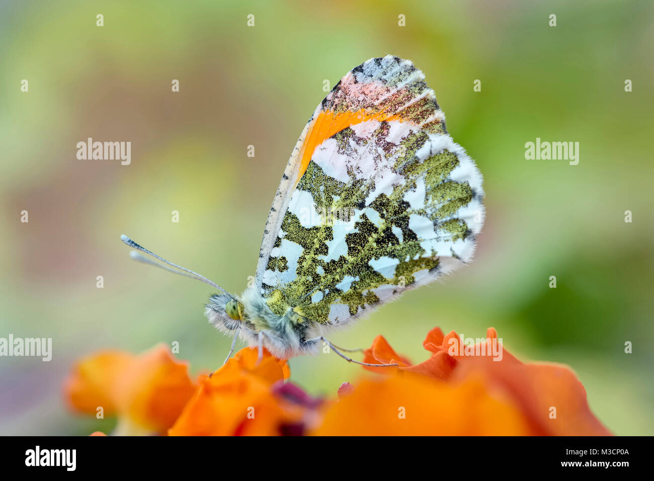 """Male orange-tip butterfly resting on Erysimum """"apricot delight"""" -  Anthocharis cardamines Stock Photo"""