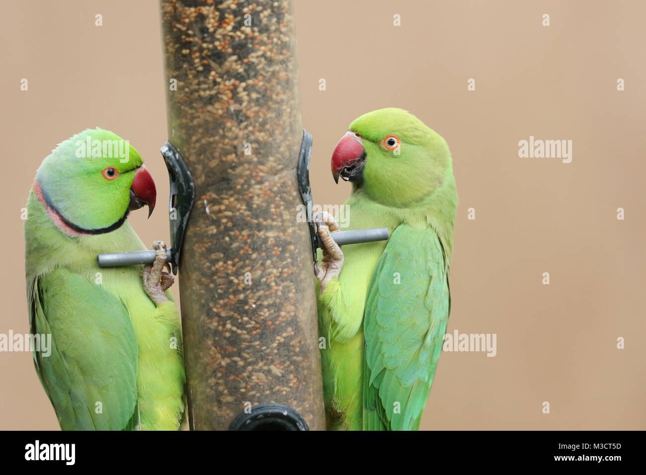 Two stunning Ring-necked Parakeet (Psittacula krameri) feeding from a seed bird feeder in winter. Stock Photo