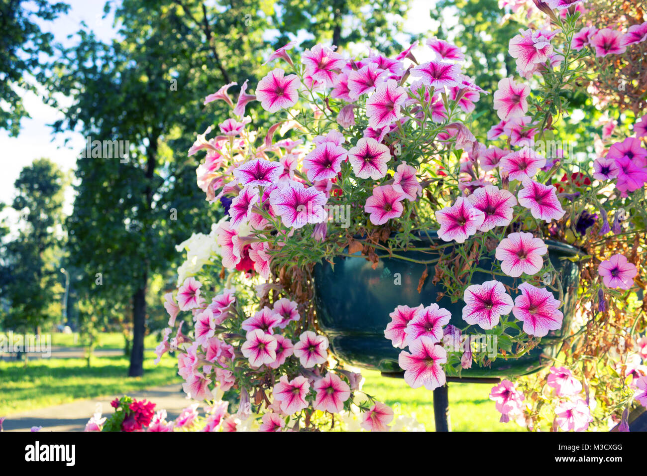 Pink flowers on the street in flower pots stock photo 174231920 alamy pink flowers on the street in flower pots mightylinksfo