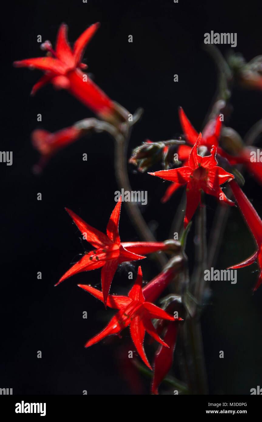 Ipomopsis aggregata Scarlet Gilia - Stock Image