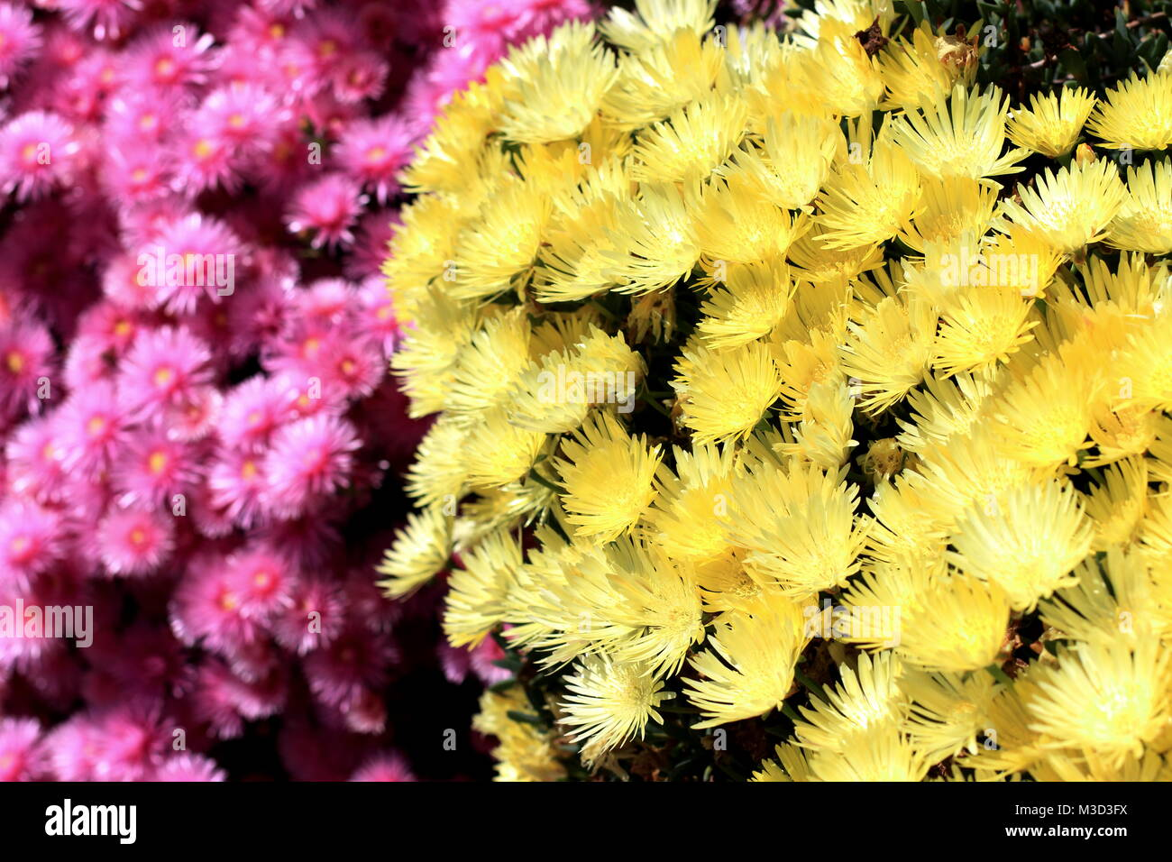 Ground cover daisies stock photos ground cover daisies stock pink and yellow pig face flowers or mesembryanthemum ice plant flowers livingstone daisies in mightylinksfo