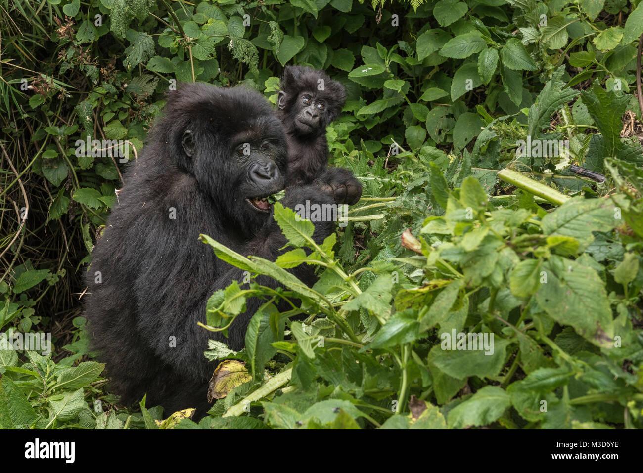Mother and baby mountain gorilla, Sabyinyo Group, Rwanda - Stock Image