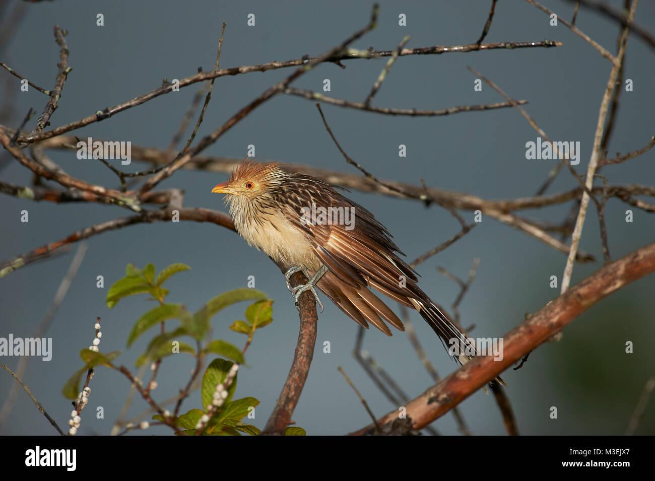 Guira Cuckoo (Guira guira) perched in a tree, Araras Ecolodge,  Mato Grosso, Brazil - Stock Image