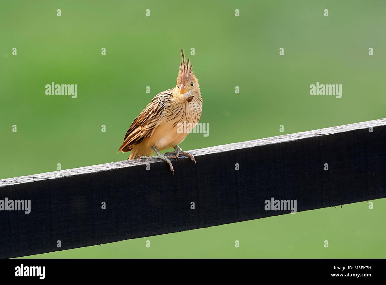 Guira Cuckoo (Guira guira) perched on a fence), Mangueiras Ranch,  Bairro da Ponte Nova, Sao Paulo, Brazil - Stock Image