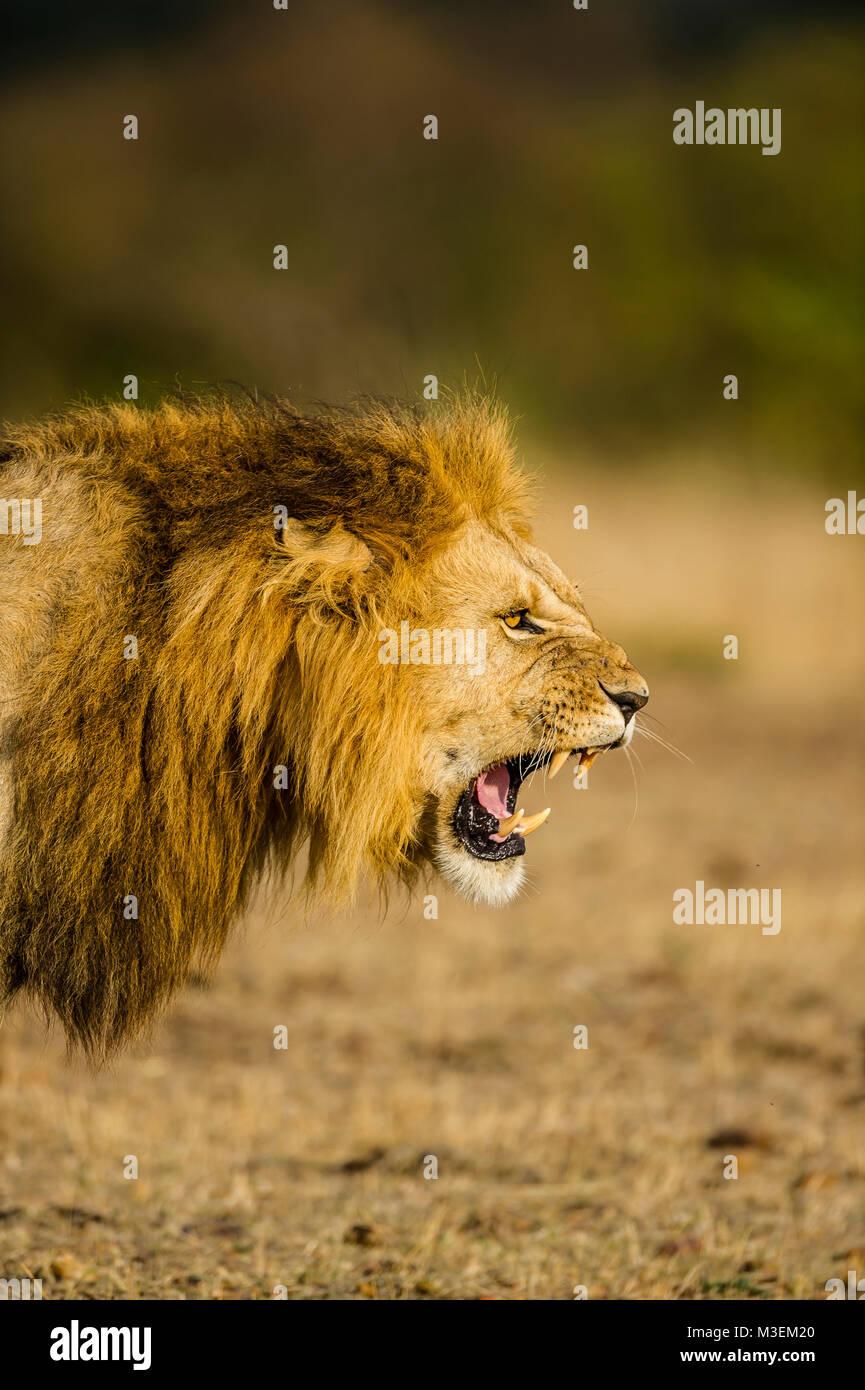 A male lion snarls a warning at a rival. Maasai Mara National Reserve, Kenya. - Stock Image
