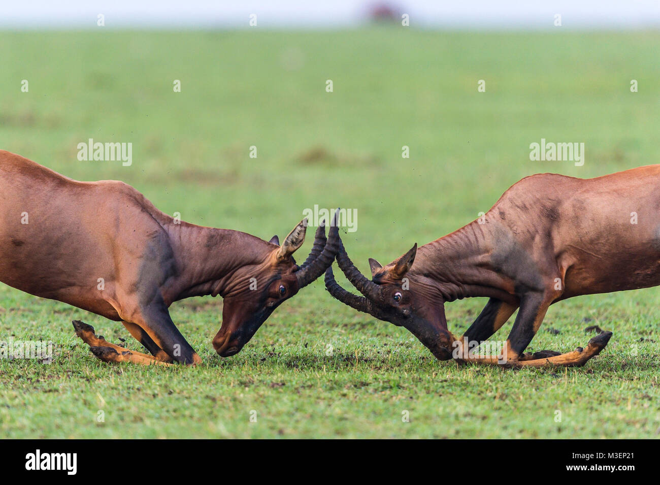 Two male topi antelope sparring (Damaliscus lunatus jimela) to establish their ranking in the mating ground, known - Stock Image