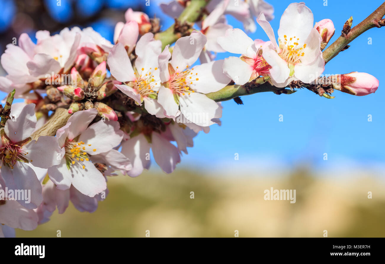 Spring Blooming. Almond or cherry tree blooming on blue sky Stock ...