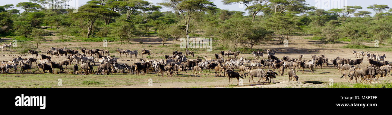 Serengeti assembly of wildebeests and zebras to begin annual mass migration. - Stock Image