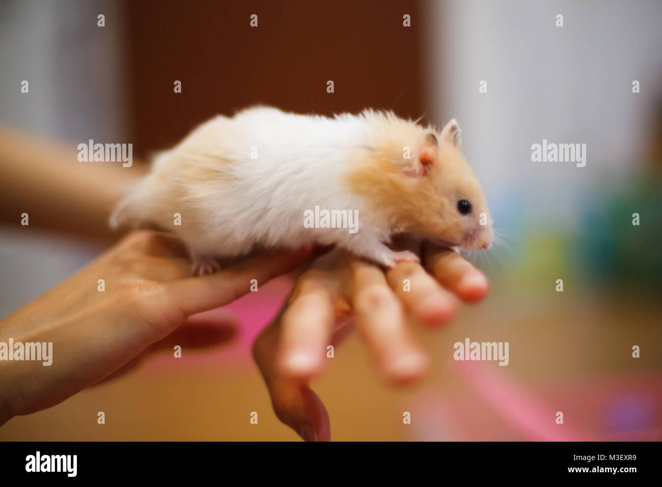 Cute Orange and White Syrian or Golden Hamster (Mesocricetus auratus) climbing on girl's hand. Taking Care, - Stock Image