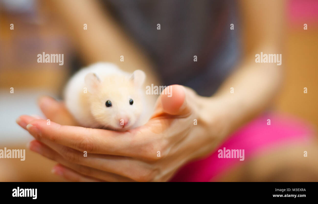 Front view of Cute Orange and White Syrian or Golden Hamster (Mesocricetus auratus) climbing on girl's hand. - Stock Image