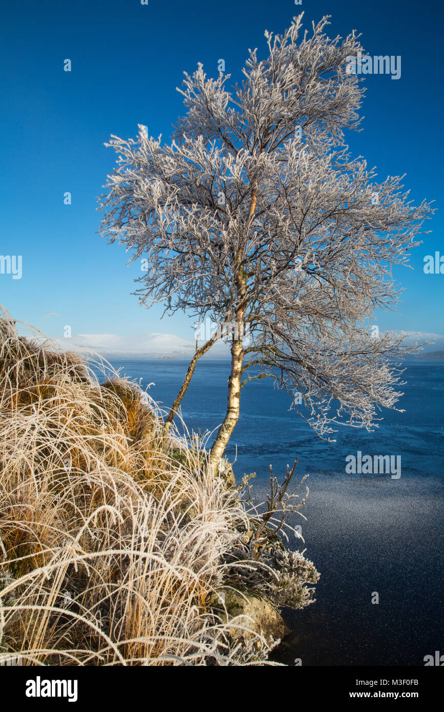 A tree covered in Hoar frost on the edge of Loch na h'Achlaise, Rannoch Moor, Scotland. The grass and all the undergrowth Stock Photo