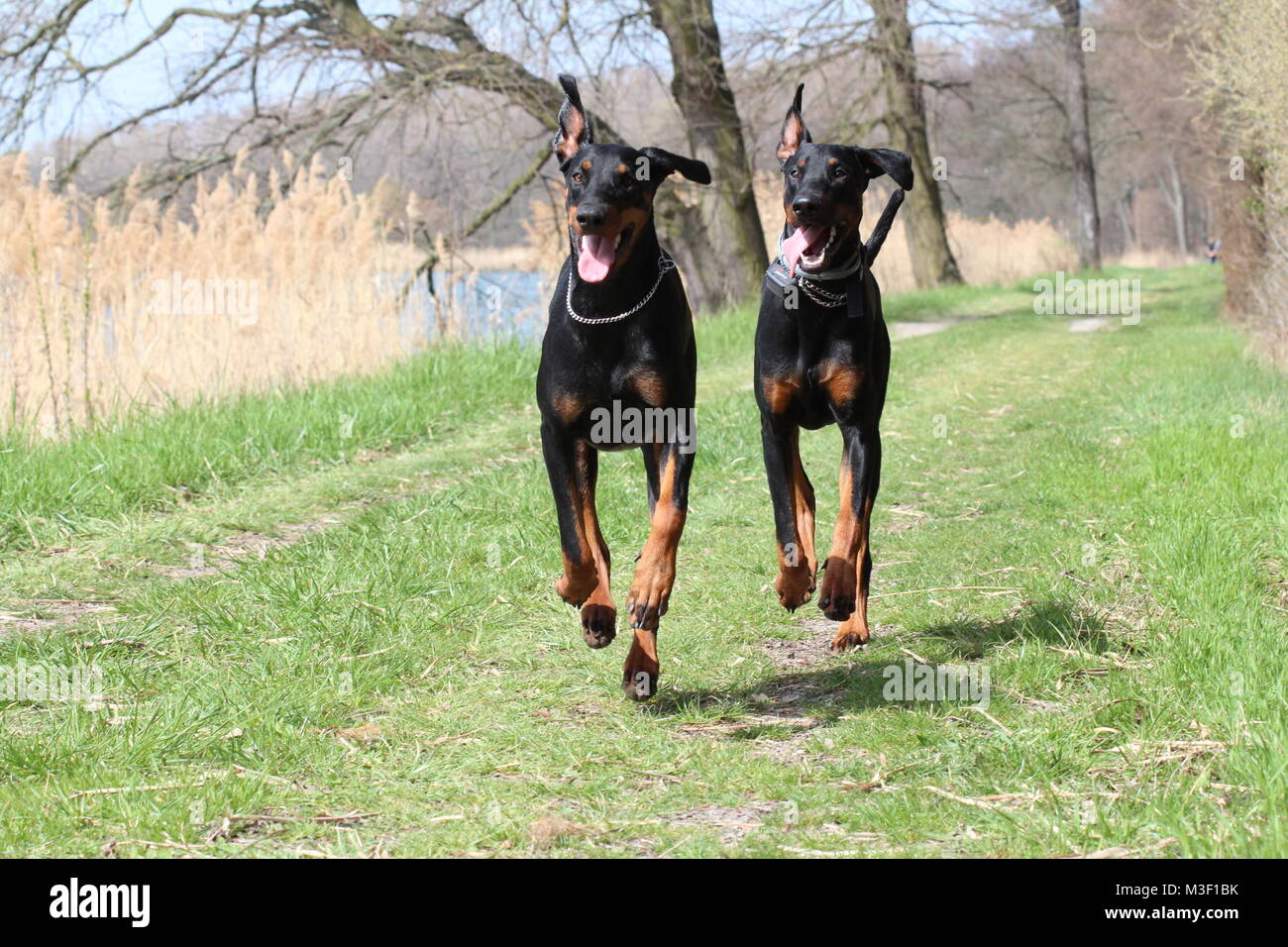 Two dogs dobermans running - Stock Image