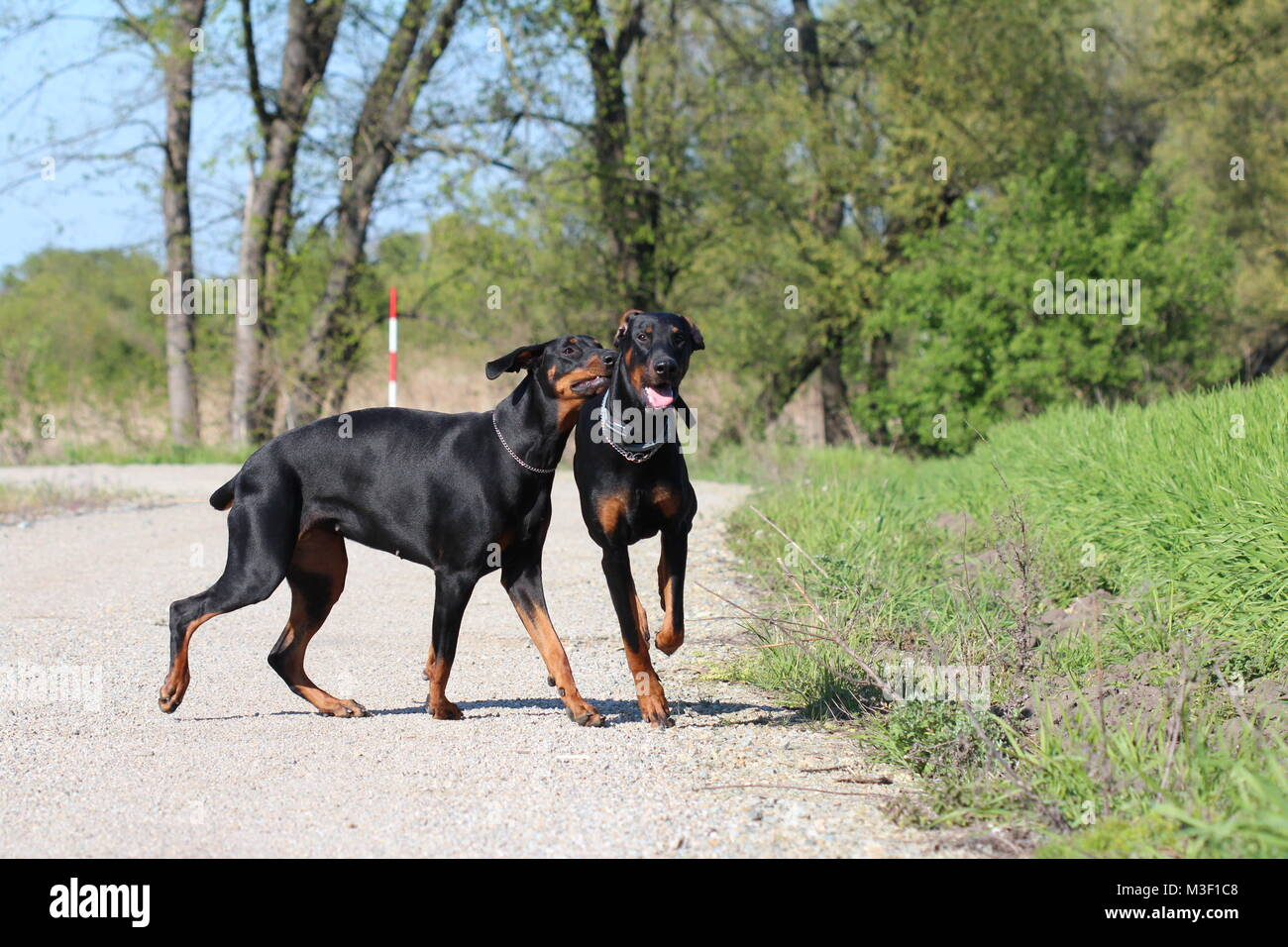 Two dogs dobermans love - Stock Image