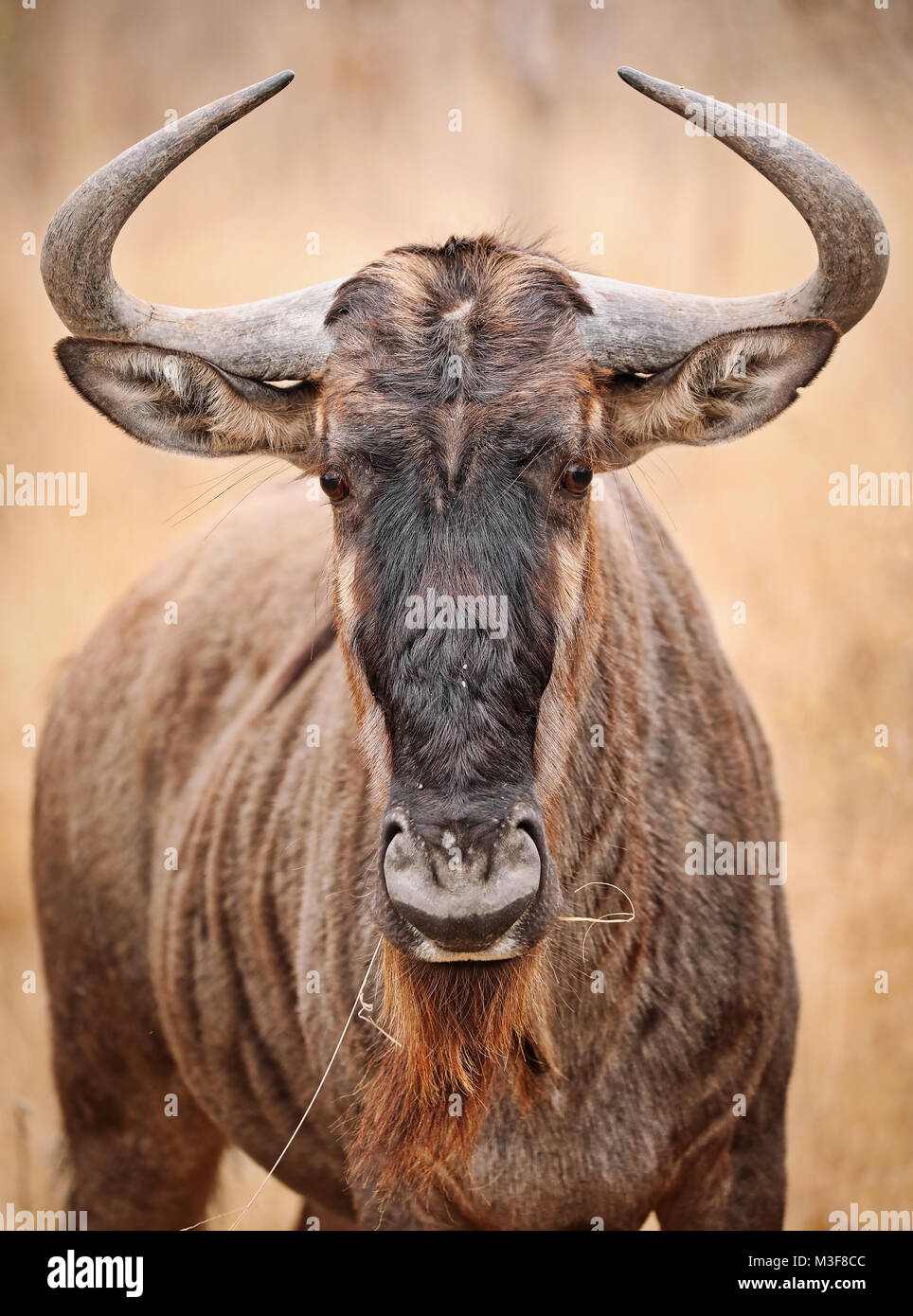 blue wildebeest, Kruger National Park, South Africa - Stock Image