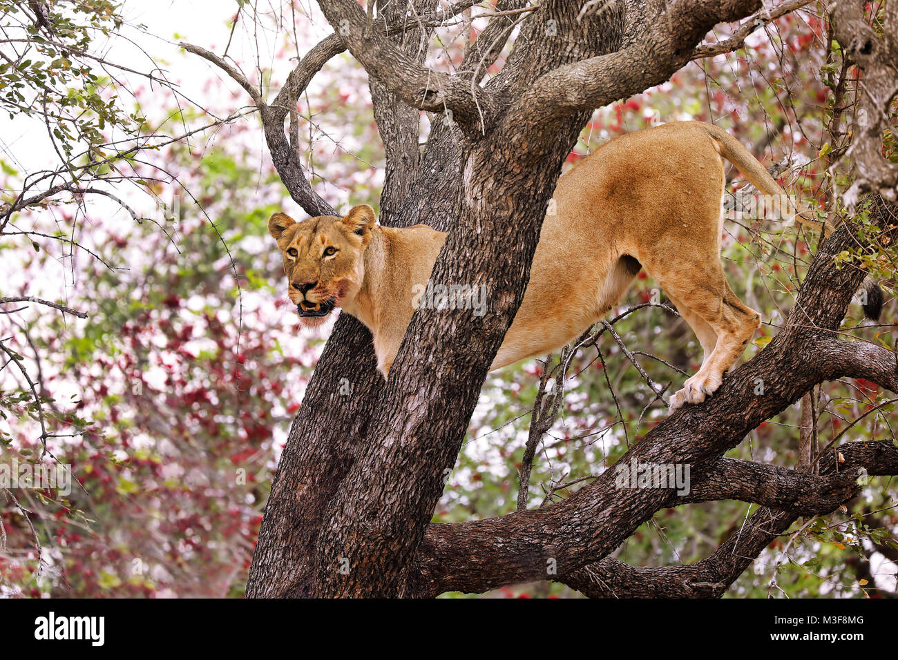 lioness stands in a tree, Kruger NP, South Africa Stock Photo