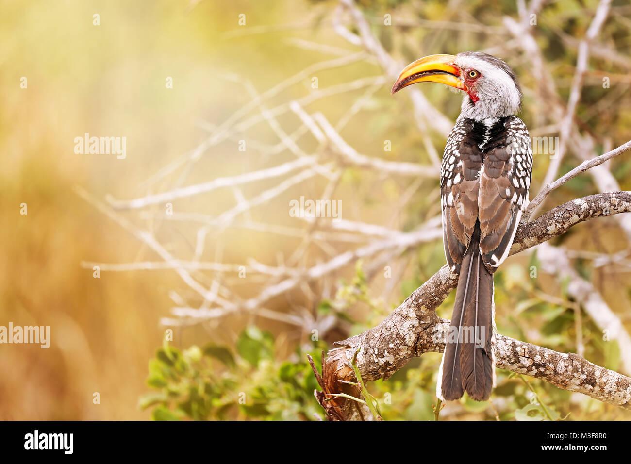 southern yellow-billed hornbill, Tockus leucomelas, Südafrika - Stock Image