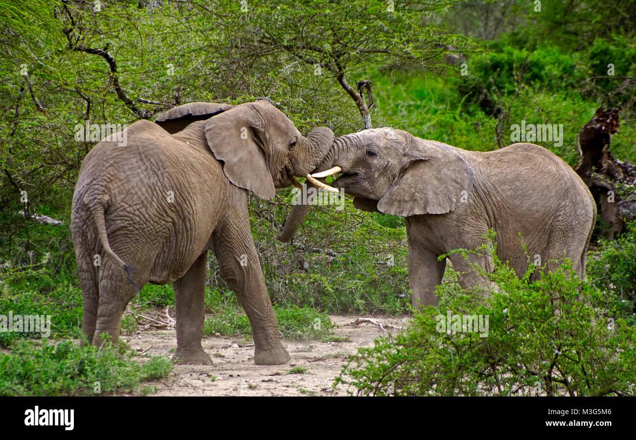 Elephants jousting in rivalry - Stock Image