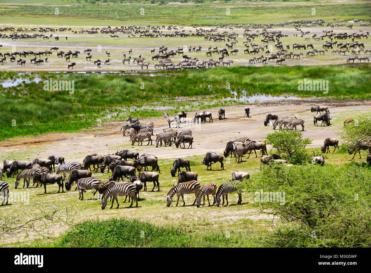 Herd of wildebeest and zebras gathering for great migration on Serengeti Plains of Tanzania. - Stock Image