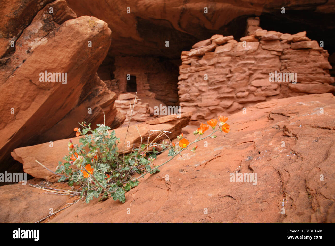 orange mallow wildflowers and indian ruins - Stock Image
