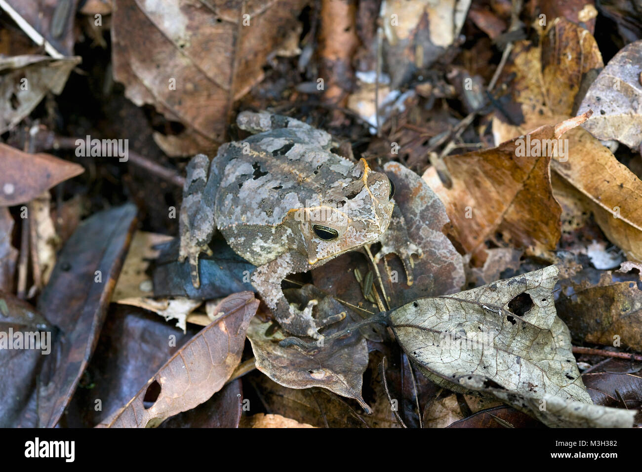 Suriname, Brownsweg, Brownsberg National Park. Horned toad. - Stock Image