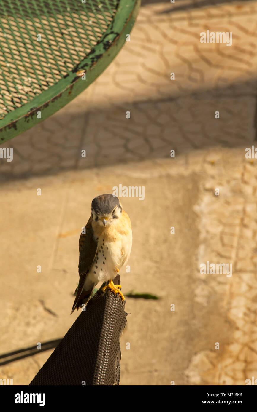 Small jamaican hawk, Ocho Rios, Jamaica, West Indies, Caribbean - Stock Image
