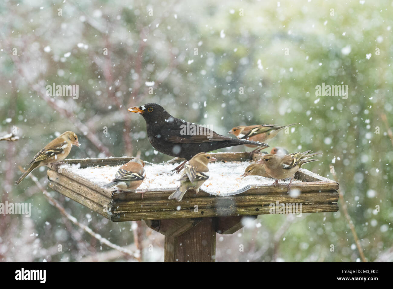 Stirlingshire, Scotland, UK - 11 February 2018: UK weather - busy bird table during a heavy snow shower in Stirlingshire - Stock Image