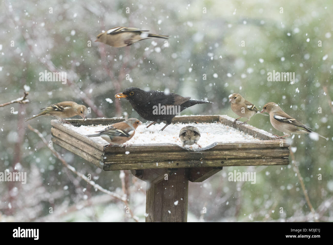 Stirlingshire, Scotland, UK - 11 February 2018: UK weather - busy bird table during a heavy snow shower in Stirlingshire Stock Photo