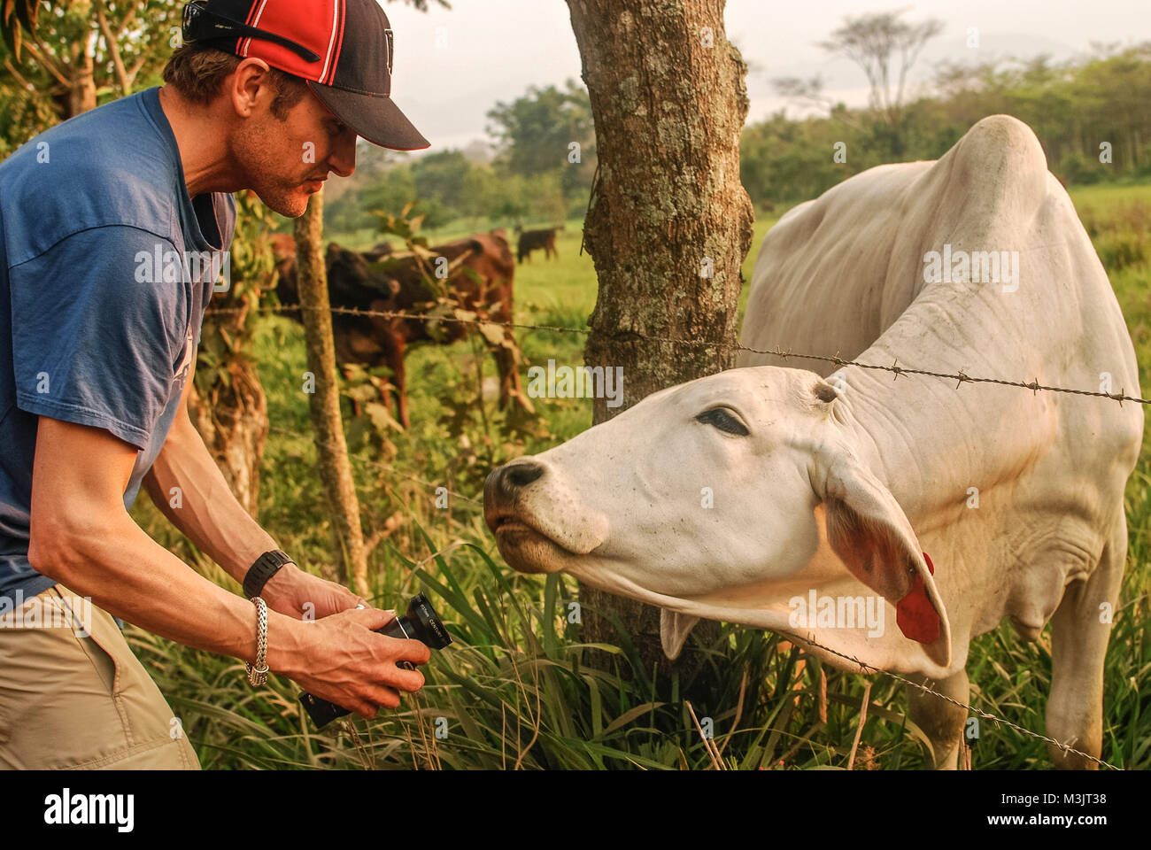 Interviewing a Cow - Stock Image