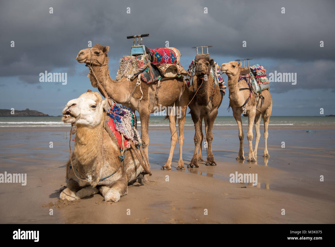 Camels that carry tourists resting in Essaouira beach in Morocco - Stock Image