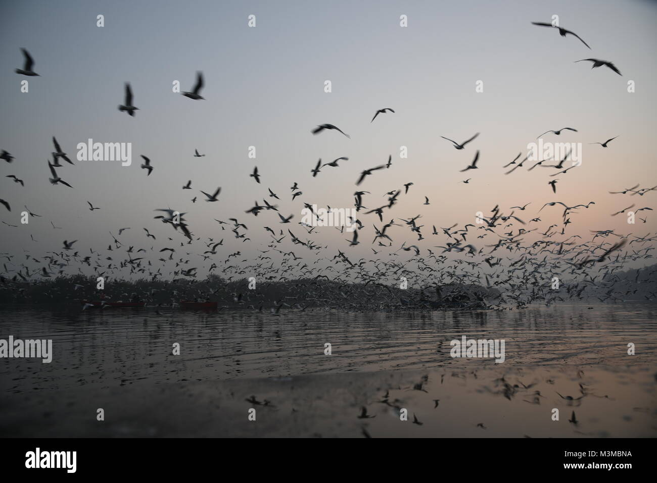 Migratory hundreds of Siberian Seagull birds are flying in the morning with sunrise at Yamuna Bank river, Delhi, - Stock Image