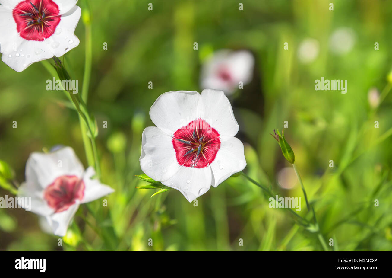 White flax flowers in the garden. Linum grandiflorum. - Stock Image