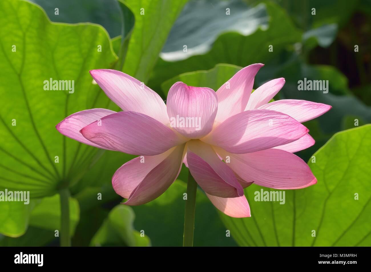 Pink Lotus Flowers Stock Photos Pink Lotus Flowers Stock Images