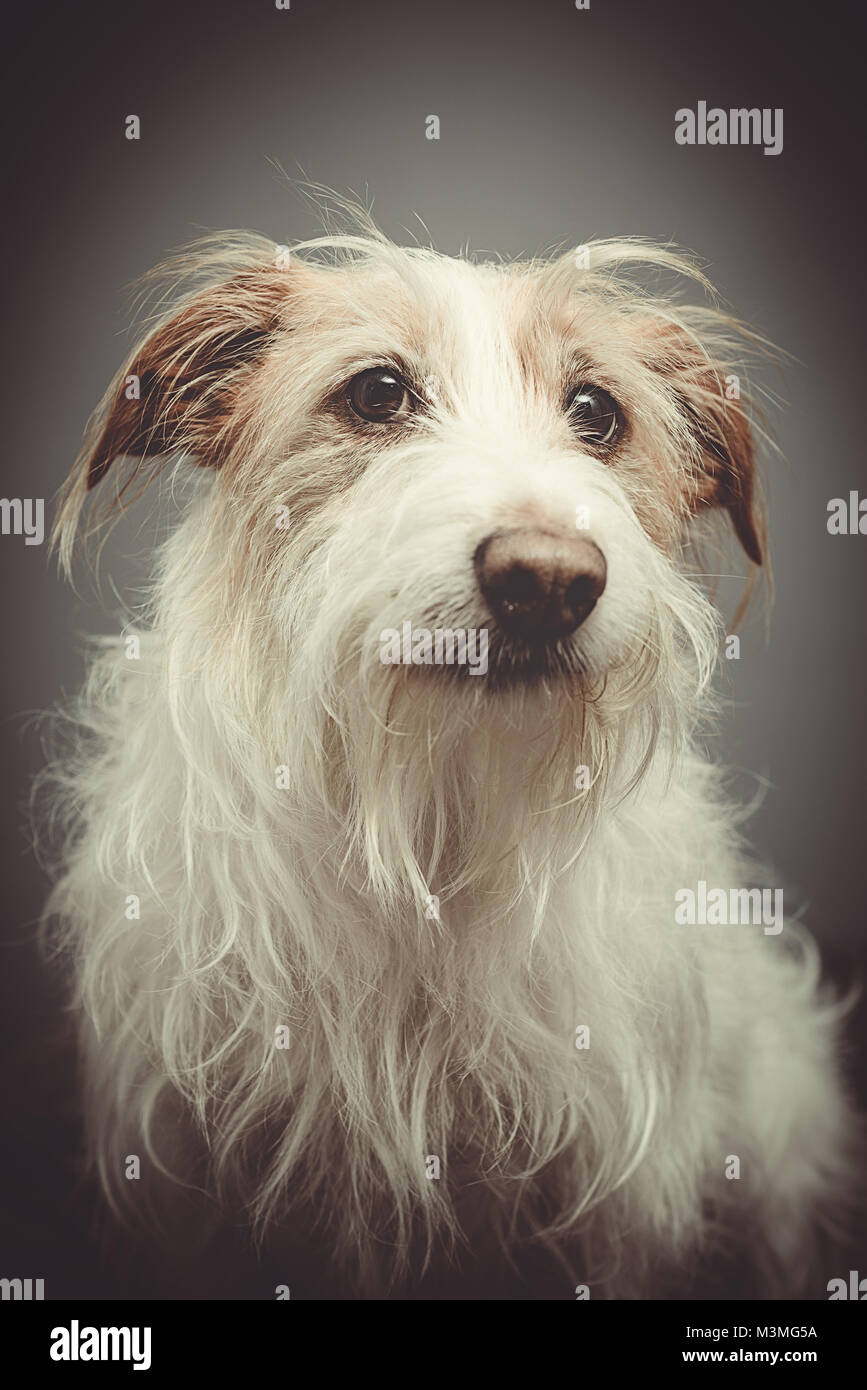 Rescue dog portrait - long haired terrier - Stock Image