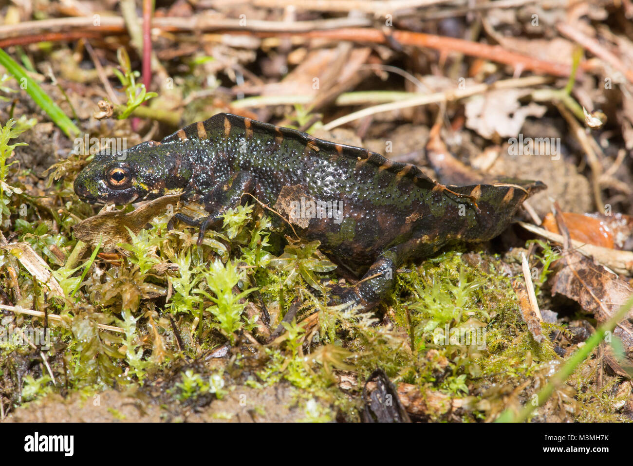 Marbled newt male  - a large, beautiful species found at higher altitudes in France & northern Spain. This from - Stock Image