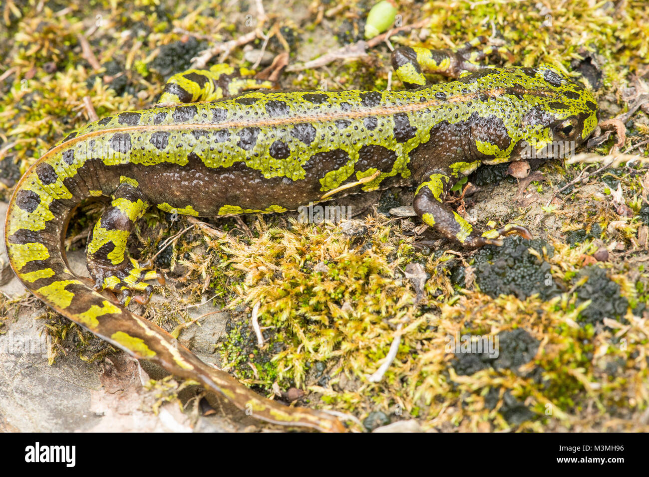 Marbled newt - a large, beautiful species found at higher altitudes in France & northern Spain (Picos de Europa - Stock Image