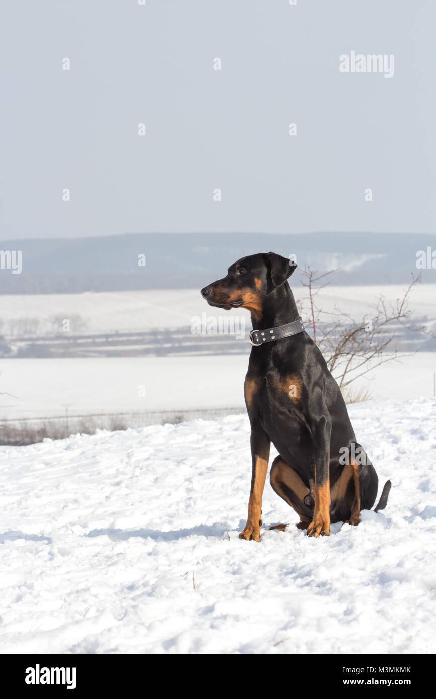 Dog doberman sitting on the ground / snow - Stock Image