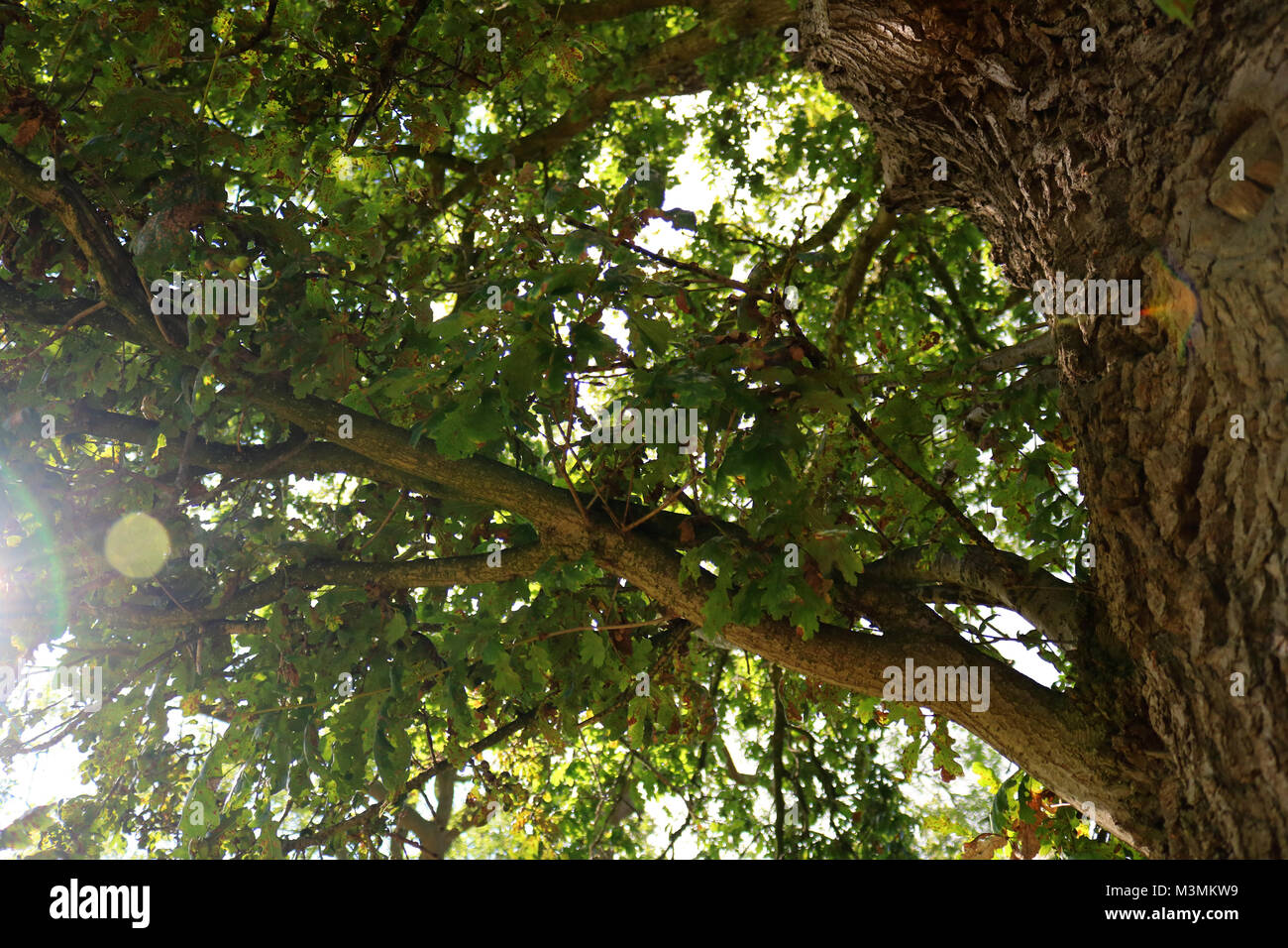 An old oak tree and lens flair. - Stock Image