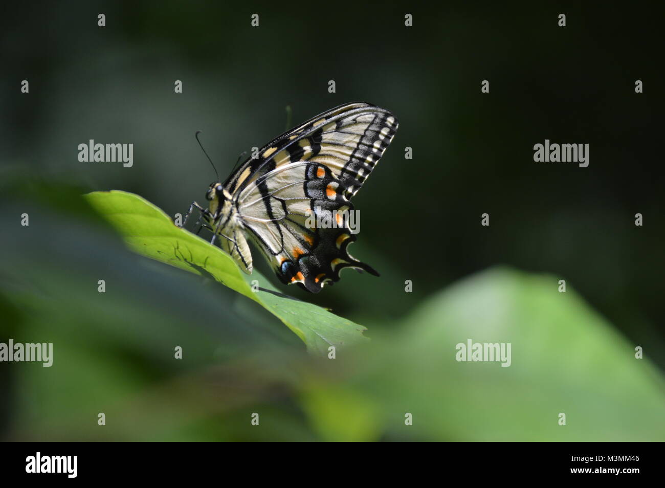 A yellow and orange butterfly sitting on a green leaf with a blurry green leaf in the foreground. Stock Photo