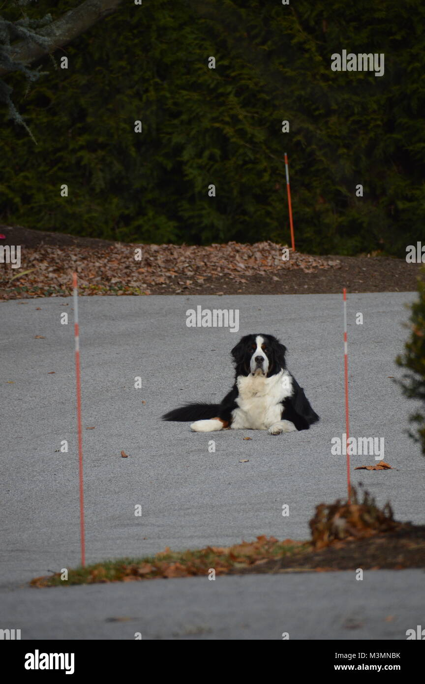 A beautiful Dog, lying on a driveway with some fall (season) leaves in the background, and blurry grass in the foreground. - Stock Image