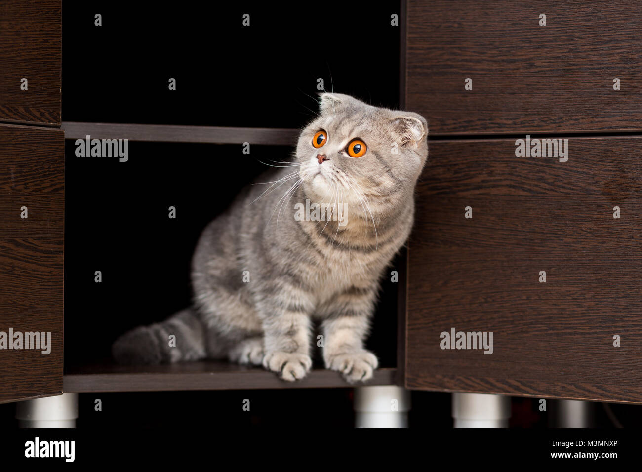 Cat of the breed Scottish Fold looks out of the closet with an inquisitive look Stock Photo