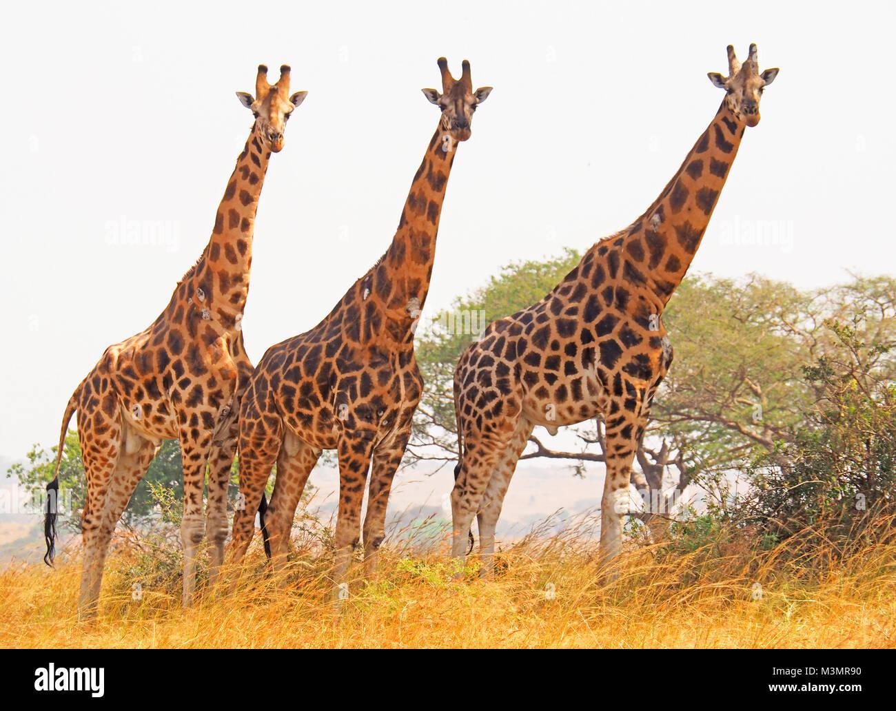 Three endangered Rothschild's giraffes in Murchison Falls National Park, Uganda. - Stock Image