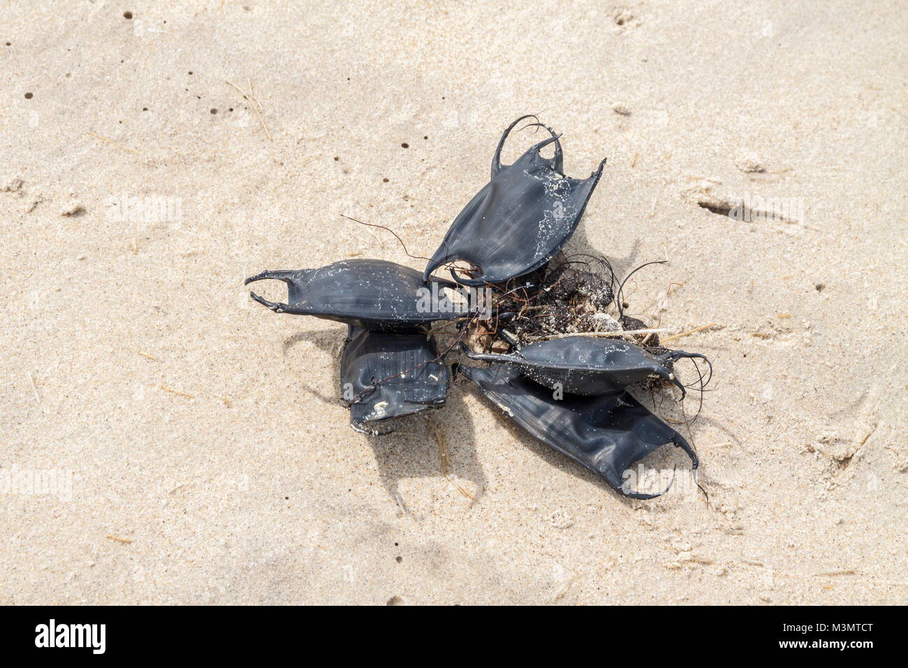 An entanglement of Ray egg cases washed-up on the baech on the Outer Banks, North Carolina - Stock Image